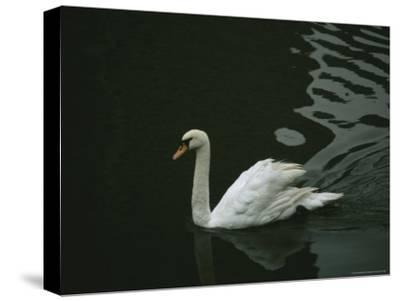 Swan Swims on a Pond Near the Imperial Palace-xPacifica-Stretched Canvas Print