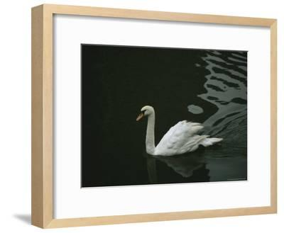Swan Swims on a Pond Near the Imperial Palace-xPacifica-Framed Photographic Print
