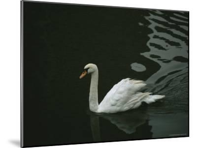Swan Swims on a Pond Near the Imperial Palace-xPacifica-Mounted Photographic Print