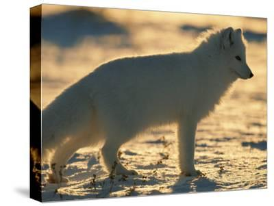 Portrait of an Arctic Fox Near Hudson Bay, Canada-Norbert Rosing-Stretched Canvas Print