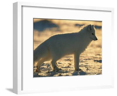 Portrait of an Arctic Fox Near Hudson Bay, Canada-Norbert Rosing-Framed Photographic Print