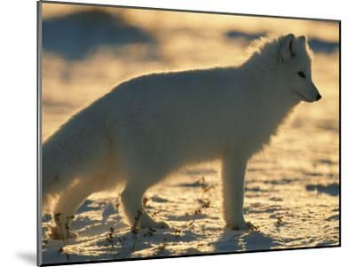 Portrait of an Arctic Fox Near Hudson Bay, Canada-Norbert Rosing-Mounted Photographic Print