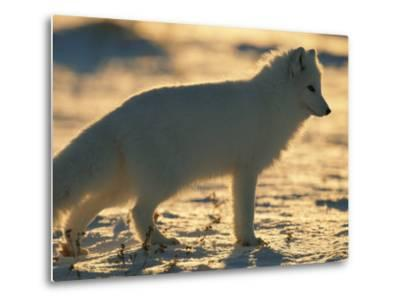 Portrait of an Arctic Fox Near Hudson Bay, Canada-Norbert Rosing-Metal Print