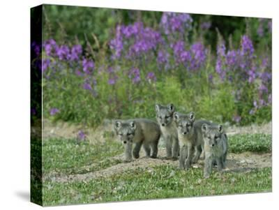 Curious Arctic Fox Pups Approach the Photographer-Norbert Rosing-Stretched Canvas Print