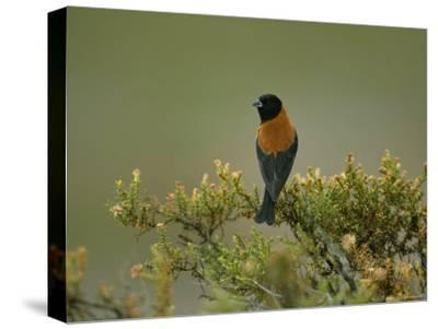 Black-Hooded Sierra Finch Perches on a Tree Branch-Joel Sartore-Stretched Canvas Print