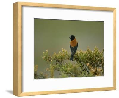 Black-Hooded Sierra Finch Perches on a Tree Branch-Joel Sartore-Framed Photographic Print