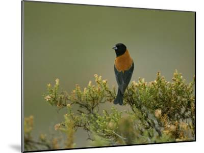 Black-Hooded Sierra Finch Perches on a Tree Branch-Joel Sartore-Mounted Photographic Print
