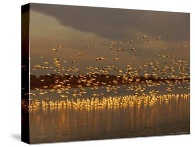 Snow Geese on Swans Cove Pool at Sunset-Raymond Gehman-Stretched Canvas Print