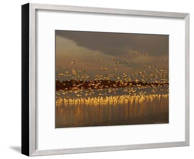 Snow Geese on Swans Cove Pool at Sunset-Raymond Gehman-Framed Photographic Print