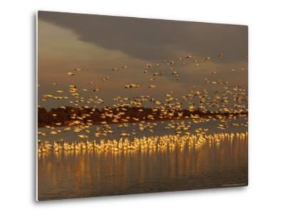 Snow Geese on Swans Cove Pool at Sunset-Raymond Gehman-Metal Print
