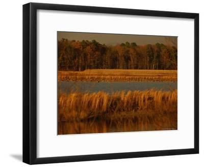 Autumn View of Canada Geese on a Freshwater Marsh at Twilight-Raymond Gehman-Framed Photographic Print