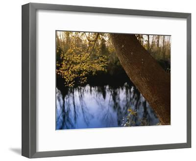 Sweet Gum Tree Leaning over the Dismal Swamp Canal-Raymond Gehman-Framed Photographic Print