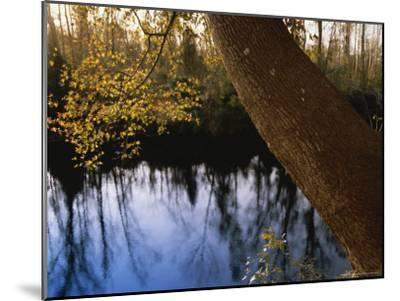 Sweet Gum Tree Leaning over the Dismal Swamp Canal-Raymond Gehman-Mounted Photographic Print