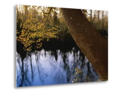 Sweet Gum Tree Leaning over the Dismal Swamp Canal-Raymond Gehman-Metal Print