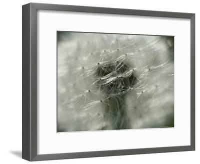 Close View of a Dandelion That Has Gone To Seed-Todd Gipstein-Framed Photographic Print