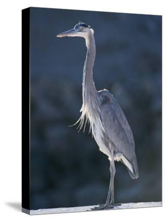 Portrait of a Great Blue Heron-Rich Reid-Stretched Canvas Print