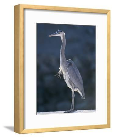 Portrait of a Great Blue Heron-Rich Reid-Framed Photographic Print