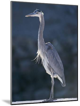 Portrait of a Great Blue Heron-Rich Reid-Mounted Photographic Print