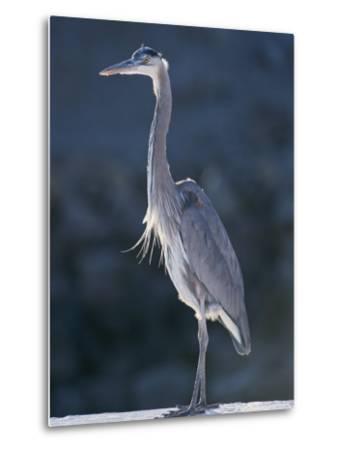 Portrait of a Great Blue Heron-Rich Reid-Metal Print