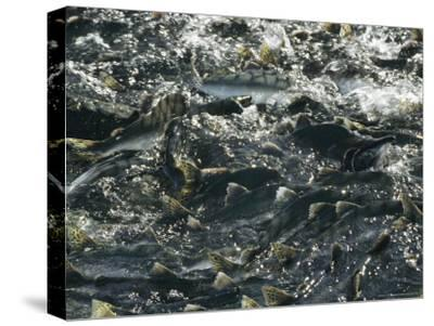 School of Pink Salmon Migrating To Spawning Grounds in Alaska-Michael S^ Quinton-Stretched Canvas Print