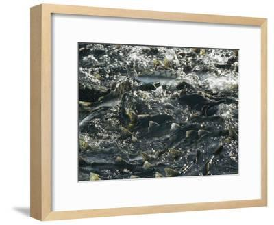 School of Pink Salmon Migrating To Spawning Grounds in Alaska-Michael S^ Quinton-Framed Photographic Print
