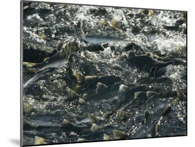 School of Pink Salmon Migrating To Spawning Grounds in Alaska-Michael S^ Quinton-Mounted Photographic Print