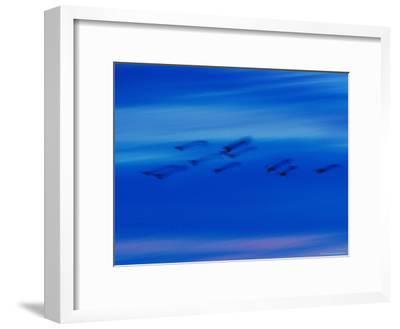 Birds in Flight in a Blue Twilight Sky-Randy Olson-Framed Photographic Print