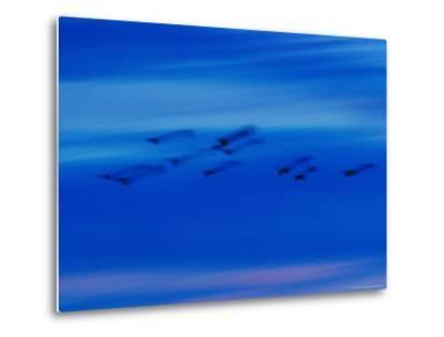 Birds in Flight in a Blue Twilight Sky-Randy Olson-Metal Print