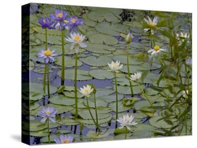 Water Lilies in Bloom-Randy Olson-Stretched Canvas Print