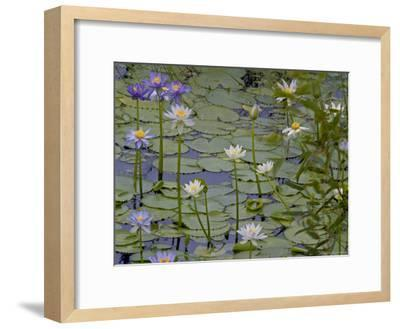 Water Lilies in Bloom-Randy Olson-Framed Photographic Print