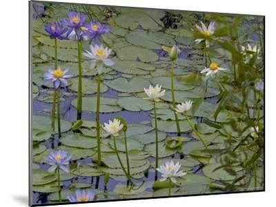 Water Lilies in Bloom-Randy Olson-Mounted Photographic Print
