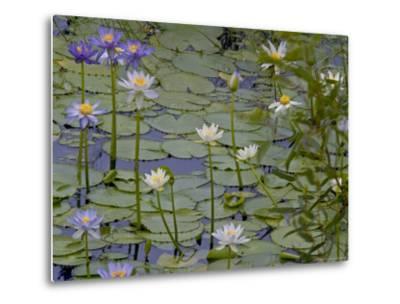 Water Lilies in Bloom-Randy Olson-Metal Print