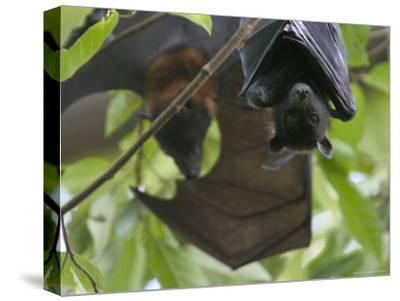 Fruit Bats Roosting in a Tree-Randy Olson-Stretched Canvas Print