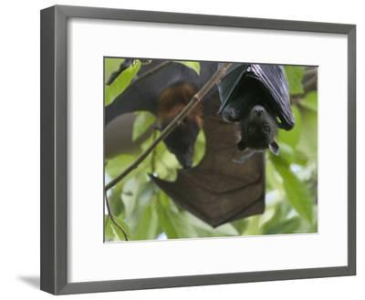 Fruit Bats Roosting in a Tree-Randy Olson-Framed Photographic Print