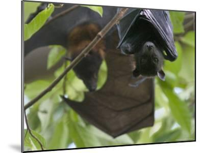 Fruit Bats Roosting in a Tree-Randy Olson-Mounted Photographic Print