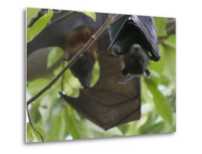 Fruit Bats Roosting in a Tree-Randy Olson-Metal Print