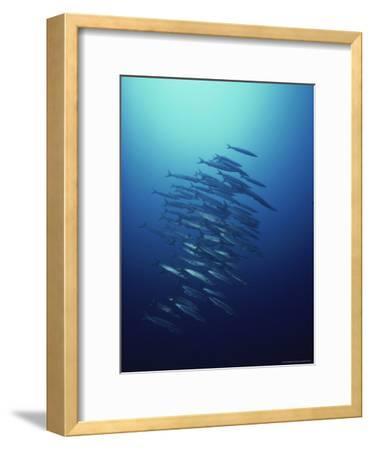 Dozens of Long-Nose Barracudas Prowl As One-David Doubilet-Framed Photographic Print