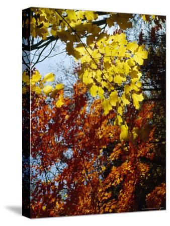 Maple Trees Along the Roy Gap Road Trail-Raymond Gehman-Stretched Canvas Print