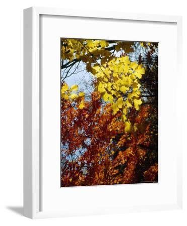 Maple Trees Along the Roy Gap Road Trail-Raymond Gehman-Framed Photographic Print