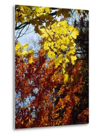 Maple Trees Along the Roy Gap Road Trail-Raymond Gehman-Metal Print