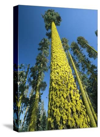 Towering Ponderosa Pine Trees Covered with Staghorn Lichens-Phil Schermeister-Stretched Canvas Print