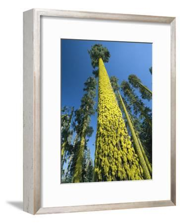 Towering Ponderosa Pine Trees Covered with Staghorn Lichens-Phil Schermeister-Framed Photographic Print
