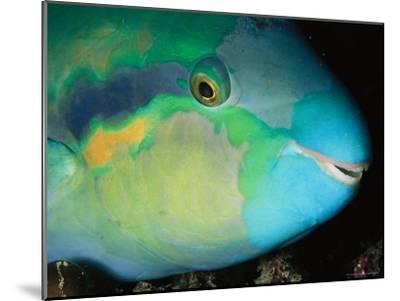 Close View of the Eye and Mouth of a Yellowbarred Parrotfish-Tim Laman-Mounted Photographic Print
