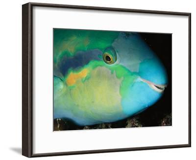 Close View of the Eye and Mouth of a Yellowbarred Parrotfish-Tim Laman-Framed Photographic Print