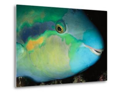 Close View of the Eye and Mouth of a Yellowbarred Parrotfish-Tim Laman-Metal Print