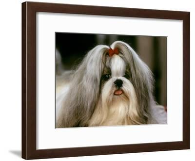 Shih Tzu Poses at a Dog Show in Bermuda-Rex Stucky-Framed Photographic Print