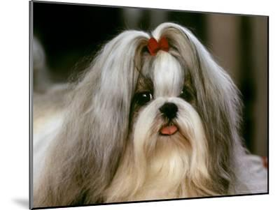 Shih Tzu Poses at a Dog Show in Bermuda-Rex Stucky-Mounted Photographic Print