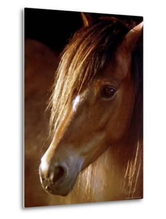 Sunlight Shines on the Forelock of a Horse-Rex Stucky-Metal Print