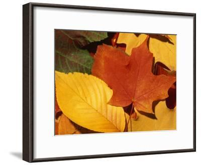 Colourfull Fall Leaves Lie in a Pile-Taylor S^ Kennedy-Framed Photographic Print