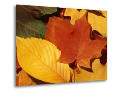 Colourfull Fall Leaves Lie in a Pile-Taylor S^ Kennedy-Metal Print